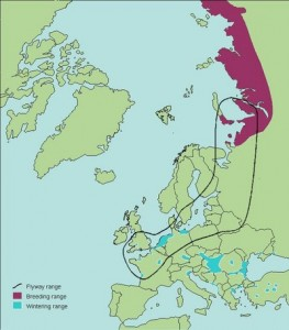 flyway map whitefront_european