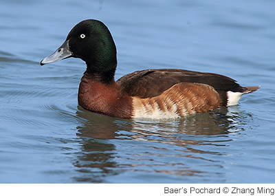 news_baers_pochard