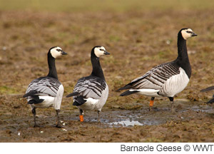 getinvolved_barnaclegeese