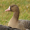 gsmp_species_accounts_white_footed_goose_thumb