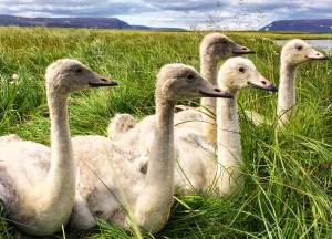 Whooper_Cygnets_Ringing