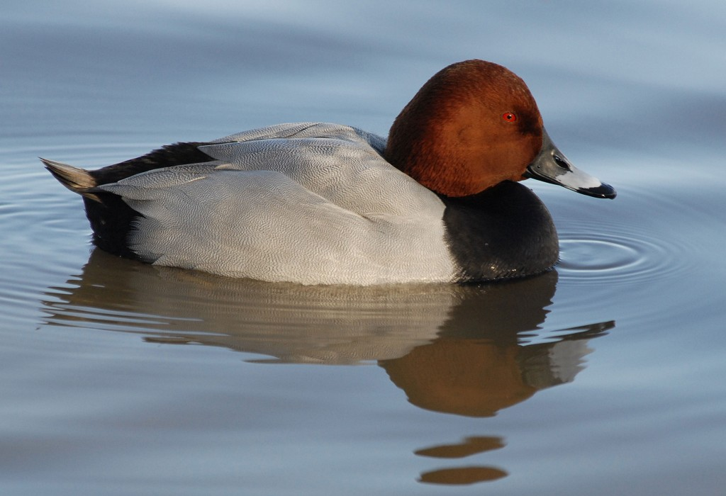 Pochard_JamesLees