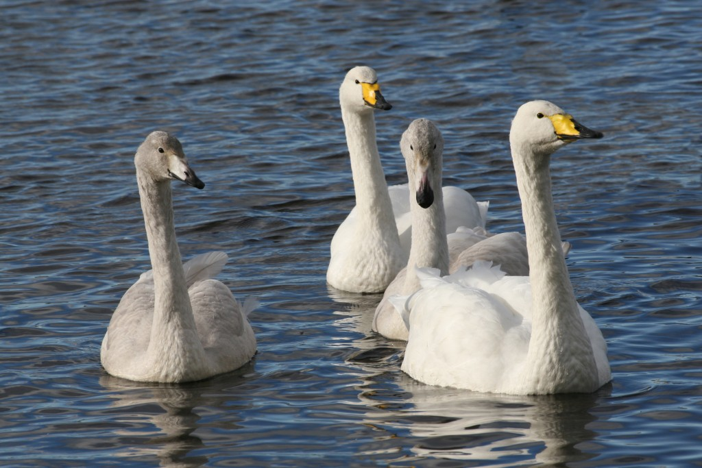 Whooper Swan family