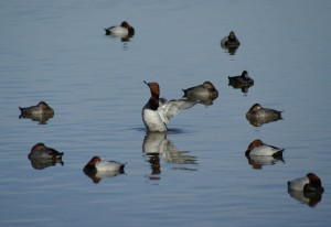 Mixed Pochard flock_Michael_Bisley